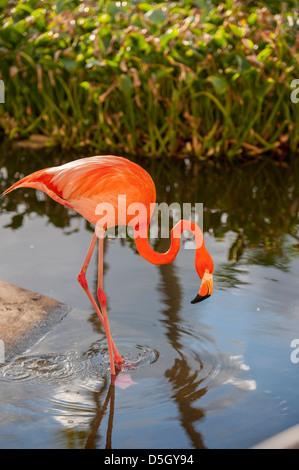 République dominicaine, Punta Cana, Higuey, Bavaro, l'Iberostar Grand, flamant rose Banque D'Images