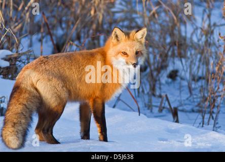 Superbe mâle, rouge fox hunter dans l'hiver canadien.