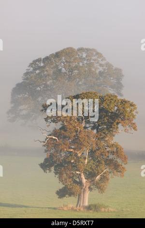 Arbres de chêne dans la brume matinale dans un champ près de Glastonbury Banque D'Images