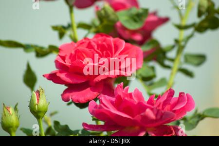 Rose rouge fond flou de la beauté naturelle. Banque D'Images