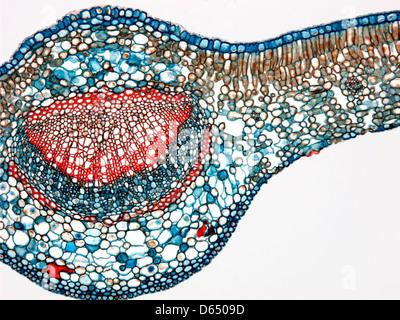 Feuille de Thé, lumière microphotographie