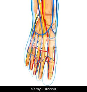 Foot anatomy, artwork Banque D'Images