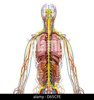 Human Anatomy, artwork Banque D'Images