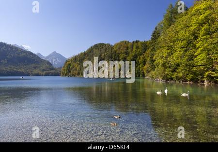 Cygnes blancs sur l'Alpsee dans Alpes bavaroises Banque D'Images