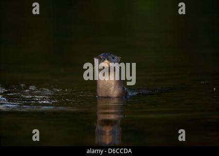 La loutre néotropicale, sci.name; Lontra longicaudis Cocle, province, République du Panama.