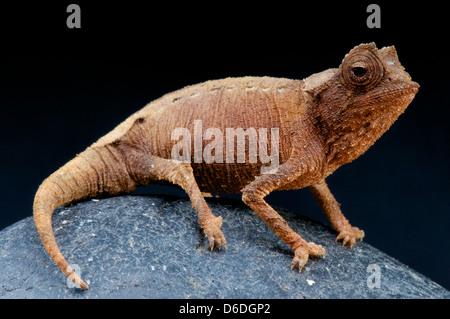 Dwarf Chameleon Brookesia stumpffi / Banque D'Images