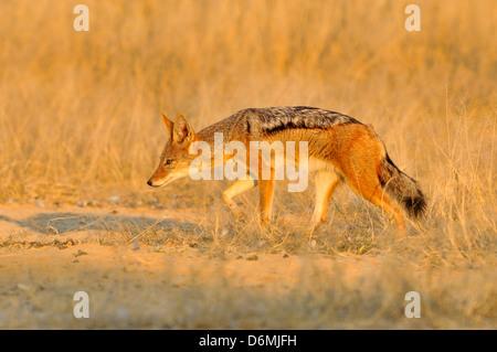 Le Chacal à dos noir Canis mesomelas photographié dans le parc national d'Etosha, Namibie Banque D'Images