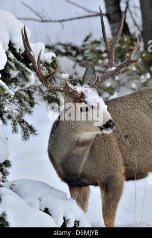 Une mule deer buck debout dans la neige de l'hiver profond sous une épinette Banque D'Images