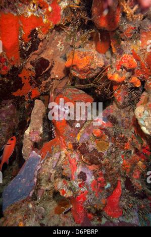 Caraïbes homard dans mur de corail, Dominique, Antilles, Caraïbes, Amérique Centrale Banque D'Images