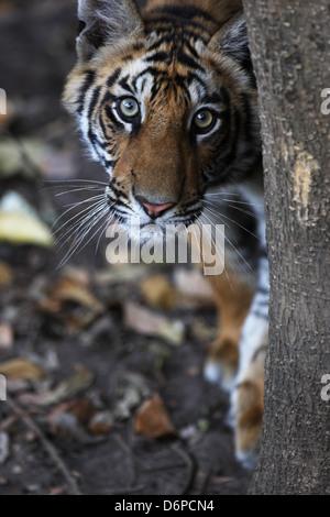 Tigre du Bengale, Panthera tigris tigris, Bandhavgarh National Park, le Madhya Pradesh, Inde Banque D'Images