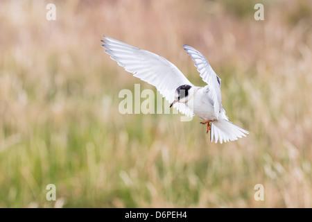Sterne arctique (Sterna paradisaea) chick en vol, l'île de Flatey, Islande, régions polaires Banque D'Images