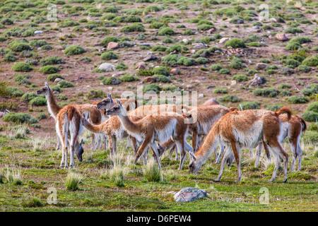 Des profils des guanacos (Lama guanicoe), Parc National Torres del Paine, Patagonie, Chili, Amérique du Sud