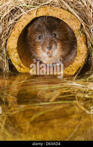 Le Campagnol de l'eau tuyaux cachés dans