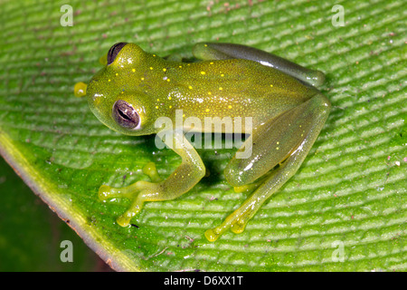 Grenouille de verre (Centrolenidae) sur une feuille dans la forêt amazonienne, en Equateur Banque D'Images