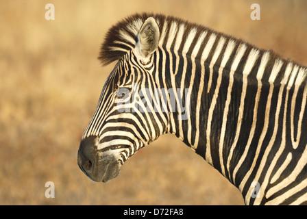 Homme le zèbre de Burchell (Equus burchellii) dans le parc national Kruger, Afrique du Sud Banque D'Images