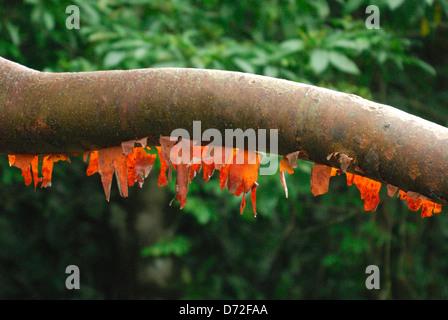 Bursera simaruba touristiques (arbre) dans le parc national Corcovado, Costa Rica Banque D'Images