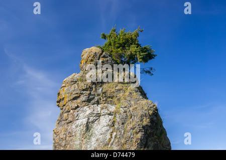 Sapin Douglas solitaire sur le haut de Siwash Rock dans le parc Stanley, Vancouver. Banque D'Images