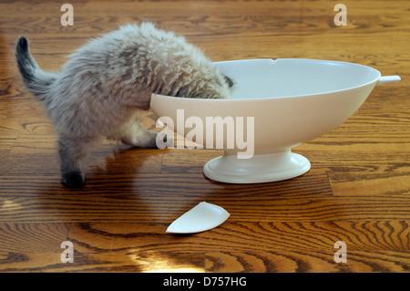 Enquête sur les chaton vase brisé Banque D'Images
