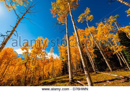 Un aspen grove à l'automne dans les montagnes de San Juan près de Ridgway, Colorado USA. Banque D'Images