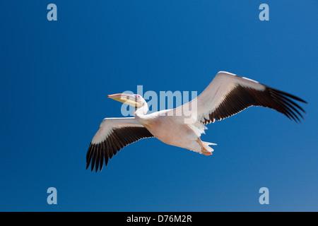 Grand Pélican blanc Pelecanus onocrotalus, en vol, Walvis Bay, en Namibie Banque D'Images