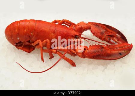 un homard rouge Banque D'Images