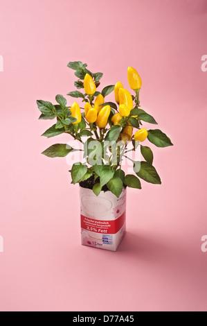 Hambourg, Allemagne, un berlingot comme un pot de fleur pour un poivre décoratif Banque D'Images