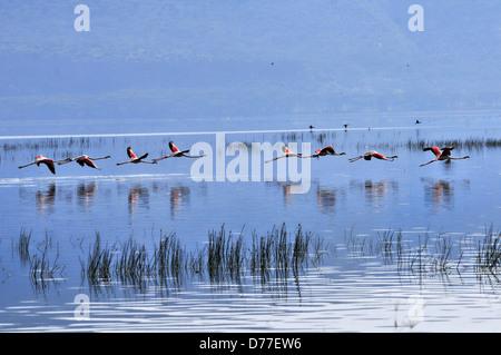 Flamant rose Départ et réflexions sur le lac Nakuru, Kenya Banque D'Images