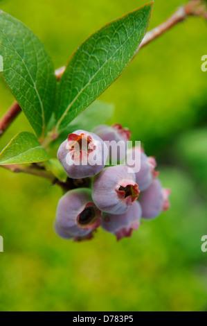 Le mûrissement des baies pourpres de bleuet, Vaccinium corymbosum. Banque D'Images