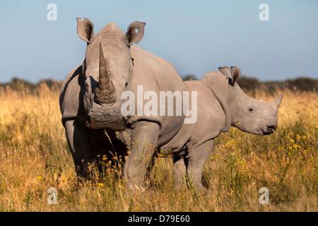 Le rhinocéros blanc du sud et son veau, Khama Rhino Sanctuary, botswana Banque D'Images