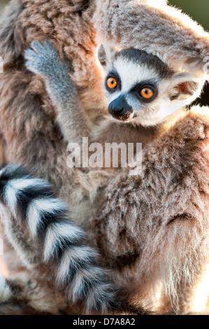 La Ring-Tailed lemur Lemur catta 6-8 semaines accrochés à mère Berenty Réserve privée Madagascar Banque D'Images