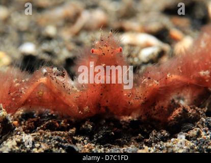 Crabe orang-outan (Achaïos japonicus), le Détroit de Lembeh, Indonésie Banque D'Images