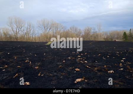 Prairie et brûlée noir après brûlage contrôlé avec des arbres en arrière-plan Banque D'Images