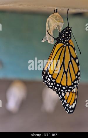 Monarque Danaus plexippus chrysalide nouvellement émergé de sécher ses ailes Grand Sudbury Ontario Canada Banque D'Images