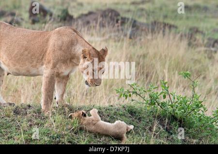 Lionne, Panthera leo, regarde avec consternation à sa chute cub, Masai Mara National Reserve, Kenya, Afrique de l'Est