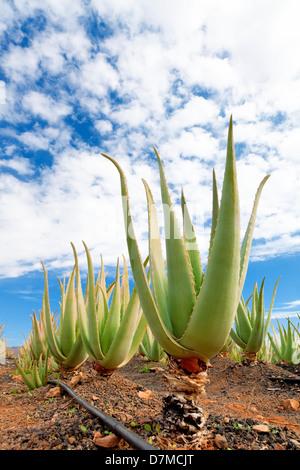 Ferme de l'Aloe vera
