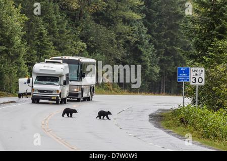 Ours noir (Ursus americanus) COY (oursons de l'année), sur la route de Mendenhall Glacier, sud-est de l'Alaska, USA