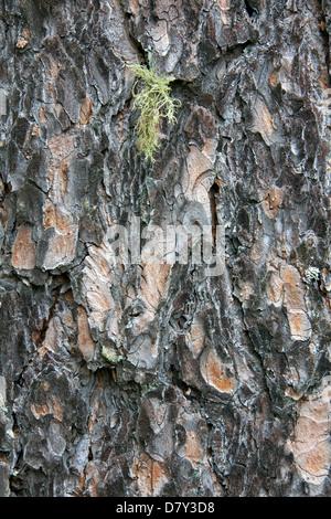 L'écorce de pin sylvestre (Pinus sylvestris), close-up Banque D'Images