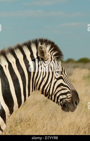 Le zèbre de Burchell dans Etosha National Park, Namibie Banque D'Images