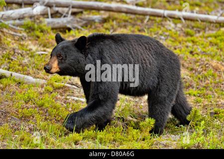 Ours noir, Ursus americanus, recherche de plantes en bordure du Parc National de Jasper, Alberta, Canada