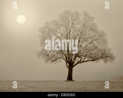 Lone Oak tree in field. Wilsonville, Oregon Banque D'Images