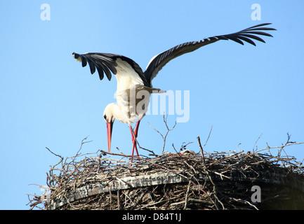 Mâle adulte Cigogne Blanche (Ciconia ciconia) l'atterrissage sur le nid Banque D'Images