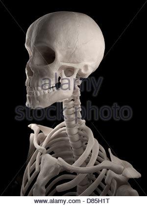 Illustration médicale numérique: crâne humain, le cou et le haut du torse (squelette). Vue oblique antérieure. Banque D'Images
