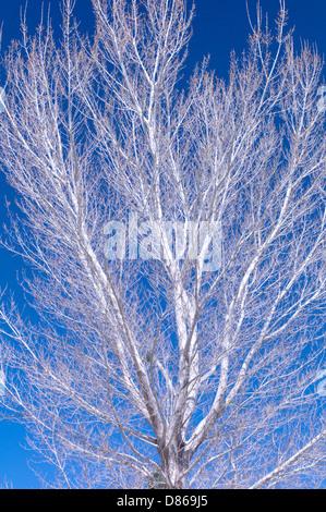L'écorce blanche de peuplier de l'arbre. Préserver l'eau blanche. Californie Banque D'Images