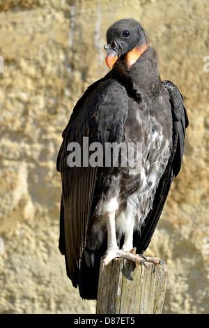 Libre de juvéniles de vautour pape (Sarcoramphus papa), vue de l'avant, perché sur bois poster Banque D'Images