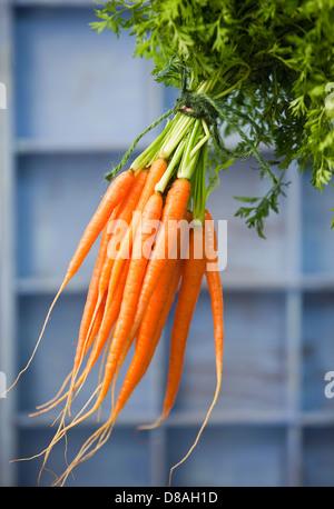 Un tas de produits frais carottes néerlandais avec les fanes vertes encore cohérente, attachées ensemble avec string Banque D'Images