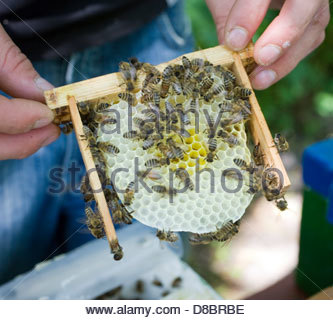 Close-up d'un apiculteur tenant un nid d Banque D'Images
