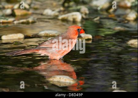 Le cardinal rouge mâle echelle d'oiseaux dans une flaque rocheuse, Cristoval, Texas, États-Unis Banque D'Images