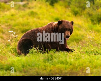 L'ours brun d'Alaska Banque D'Images