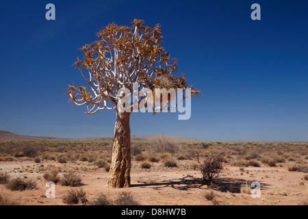 Tisserands sociable nichent dans kokerboom ou Quiver Tree (Aloe dichotoma), près de Fish River Canyon, le sud de Banque D'Images