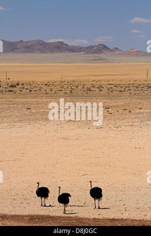 Autruches, Garub, Namib-Naukluft National Park, près de l'Aus, le sud de la Namibie, l'Afrique Banque D'Images